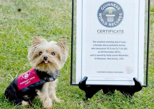 Yorkshire Terrier entre as menores racas de caes do mundo