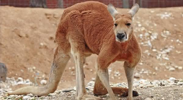 canguru vermelho entre os maiores mamiferos do mundo