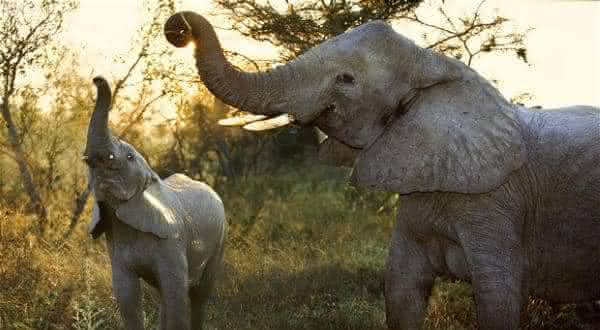 elefante africano entre os maiores mamiferos do mundo