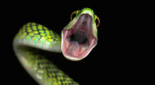 cobras entre os animais que podem sobreviver mais tempo sem se alimentar