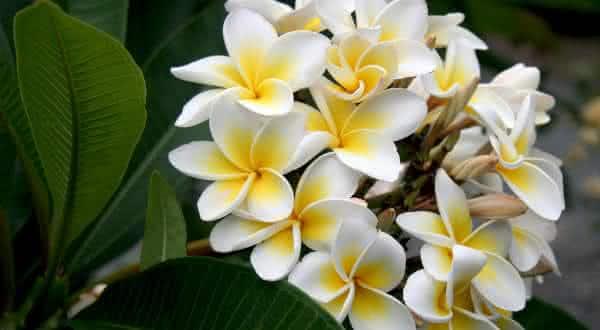 plumeria entre as flores mais bonitas do mundo