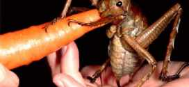Top 10 maiores insetos do mundo