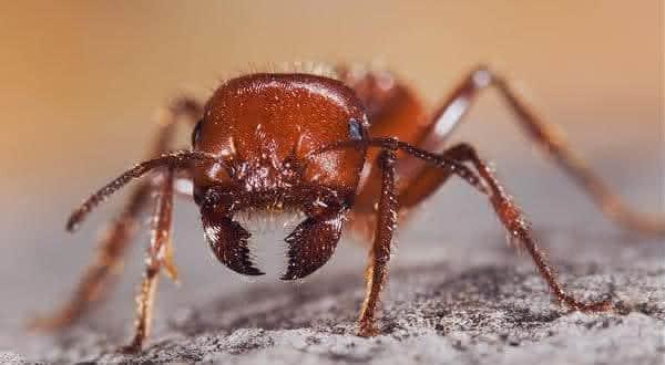 sonhar com formiga um