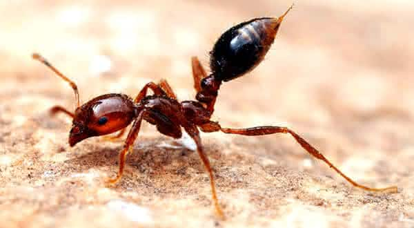 Formiga de fogo entre as picadas de insetos mais dolorosas do mundo