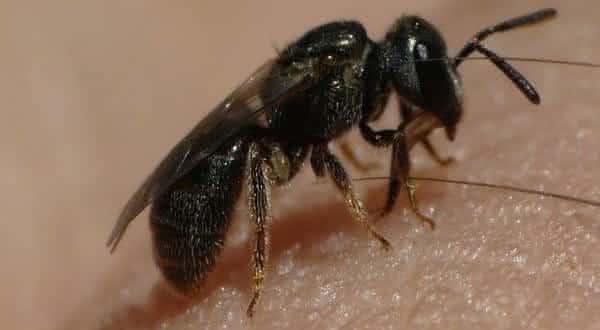 abelha suor entre as picadas de insetos mais dolorosas do mundo