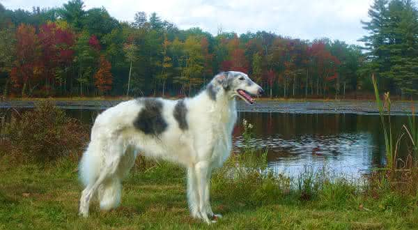 borzoi entre as racas de caes menos inteligentes do mundo