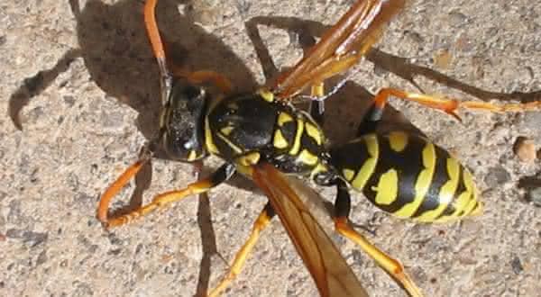 vespa jaqueta amarela entre as picadas de insetos mais dolorosas do mundo