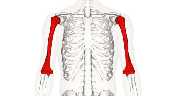 osso humerus entre os maiores ossos do corpo humano