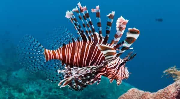 peixe leao entre os peixes mais perigosos do mundo
