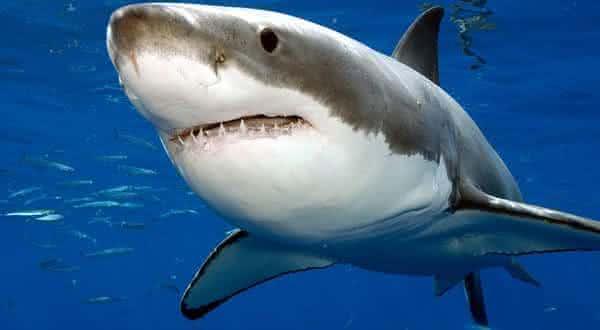 tubarao branco entre os peixes mais perigosos do mundo