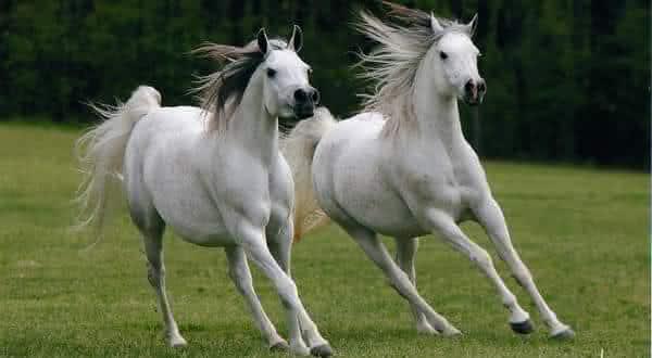 cavalo arabe entre as racas de cavalos mais caras do mundo