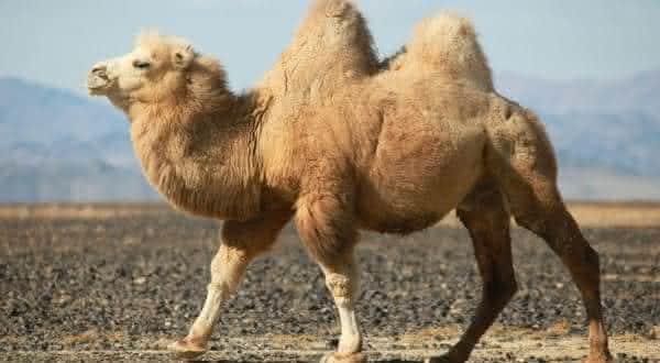 camelos entre os animais que podem sobreviver mais tempo sem se alimentar