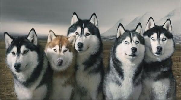husky siberiano entre as racas de caes mais bonitas do mundo