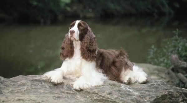 Springer Spaniel Ingles entre as racas de caes mais faceis de treinar