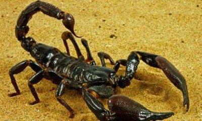 escorpiao entre os animais que mais matam pessoas