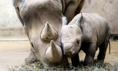 rinoceronte negro entre os animais com os periodos de gestacao mais longos
