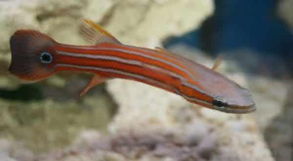 flathead entre os peixes mais caros do mundo
