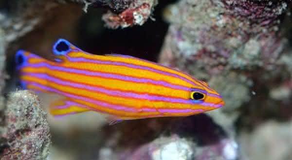 candy entre os peixes mais caros do mundo