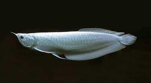 platinunm entre os peixes mais caros do mundo