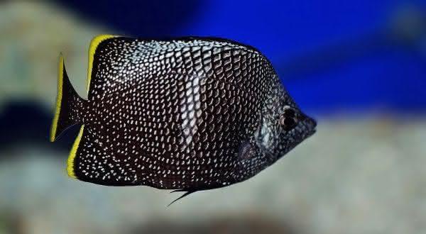 iron butterfly entre os peixes mais caros do mundo
