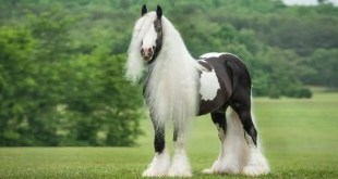Gypsy Vanner entre as racas de cavalos mais bonitas do mundo
