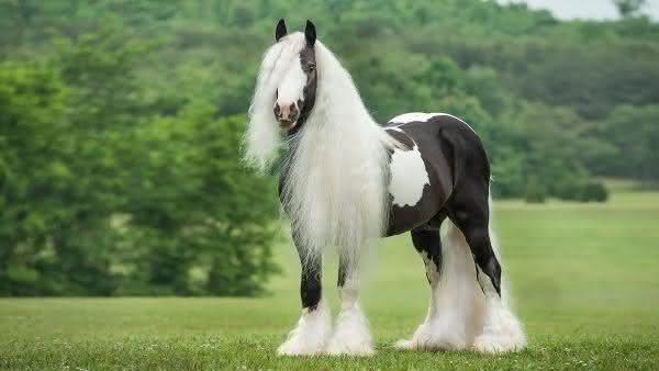 Gypsy Vanner entre as racas de cavalos mais bonitas do mundo