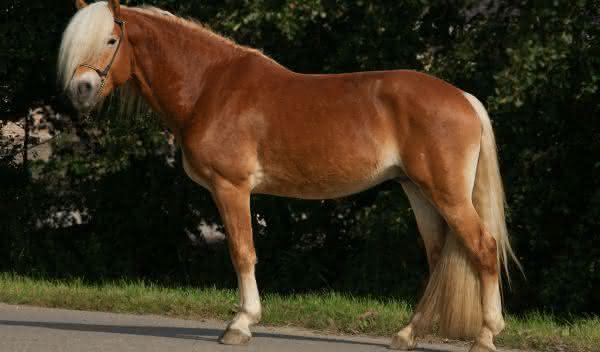 Haflinger entre as racas de cavalos mais bonitas do mundo