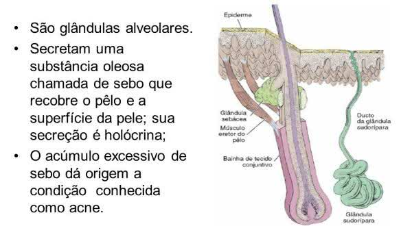 glandulas cebaceas  entre as maiores causas da acne
