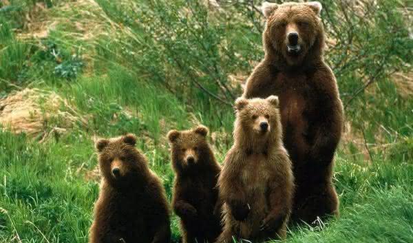 ursos entre as especies que dominariam se os seres humanos morressem