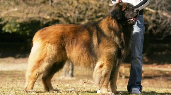 Leonberger entre as racas de caes com menor longevidade do mundo