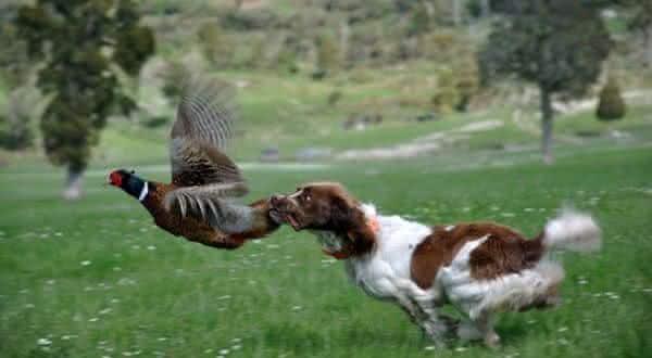 Springer Spaniel Ingles entre as melhores racas de caes de caca