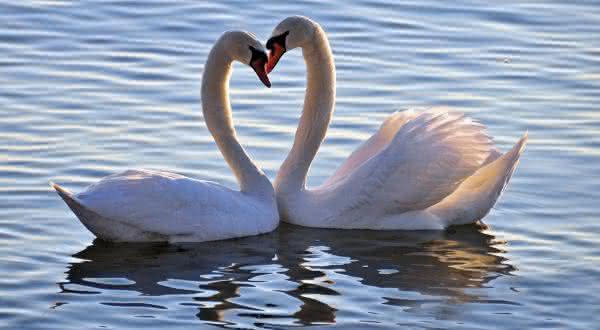 cisne entre os animais que possuem um companheiro para a vida toda