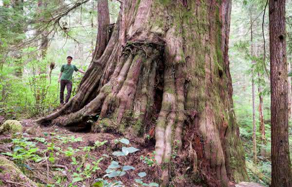 Picea Sitchensis entre as arvores mais altas do mundo