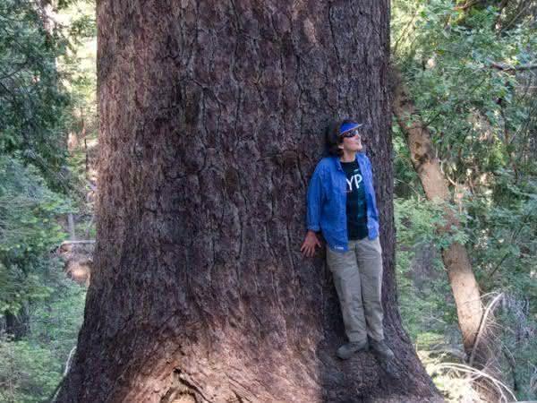 Pinus Lambertiana entre as arvores mais altas do mundo