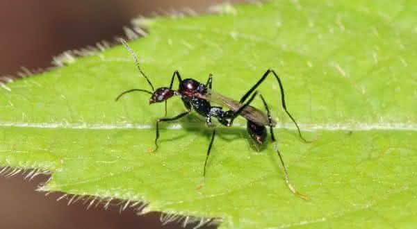 formigas voadoras entre os animais com vida mais curta do mundo
