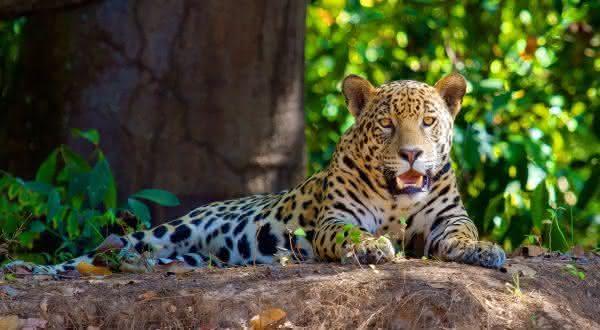 jaguar  entre as criaturas mais mortais da amazônia