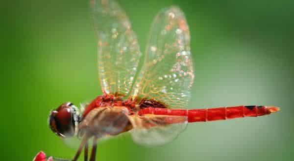 libelula entre os animais com vida mais curta do mundo