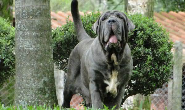 mastim entre as raças de cães com as mordidas mais fortes