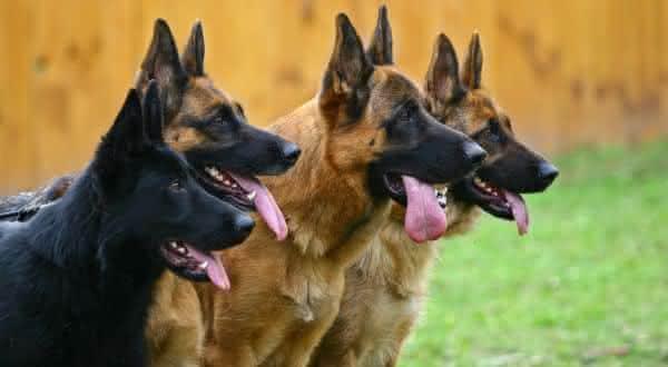 pastor alemao entre as raças de cães com as mordidas mais fortes