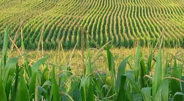 hungria entre os maiores exportadores de milho do mundo