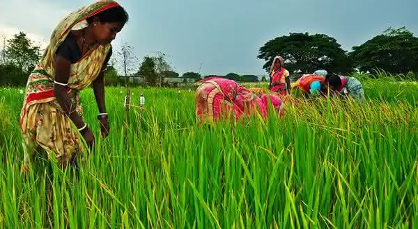 india entre os maiores exportadores de arroz do mundo