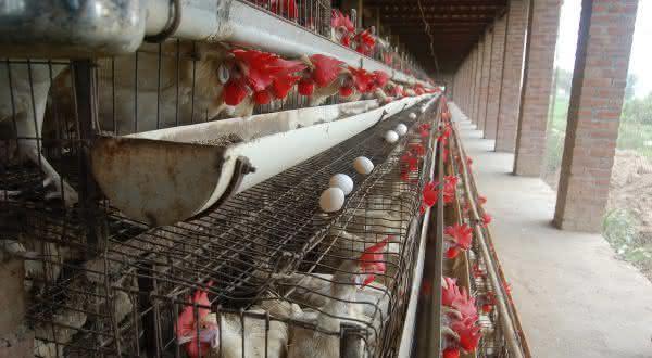 india entre os maiores paises produtores de ovos do mundo