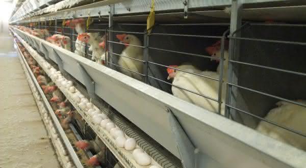 indonesia entre os maiores paises produtores de ovos do mundo