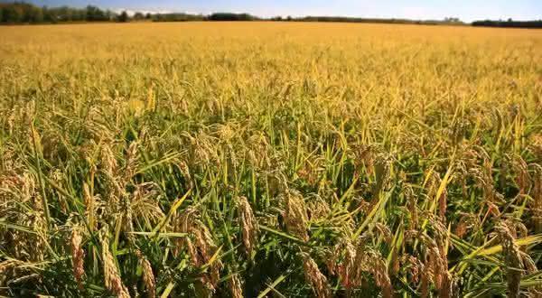 italia entre os maiores exportadores de arroz do mundo