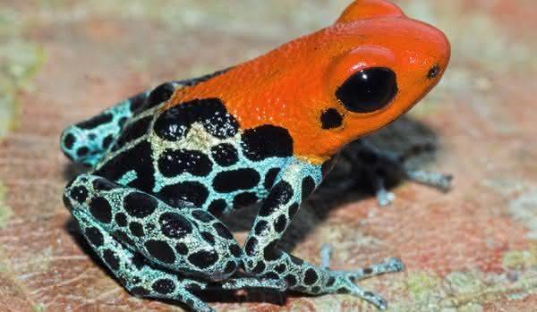 Ranitomeya reticulata entre os sapos mais venenosos do mundo