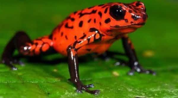 Rela-morango entre as especies de sapos mais venenosos do mundo