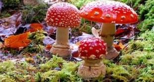 Amanita Muscaria entre os cogumelos mais venenosos do mundo