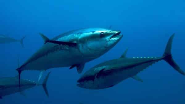 Bluefin Tuna entre os peixes mais rapidos dos oceanos e mares