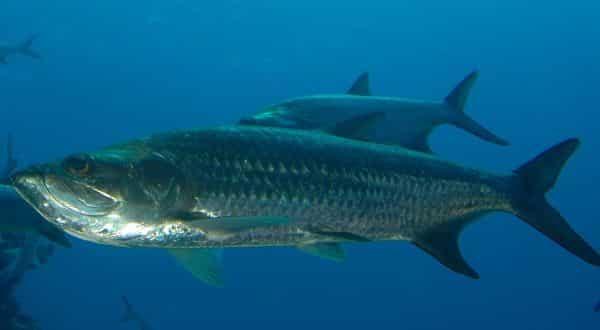 Tarpon entre os peixes mais rapidos dos oceanos e mares