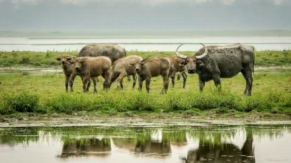bufalo dagua entre as maiores populacoes de mamiferos do mundo